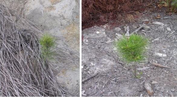 site prep pine growth