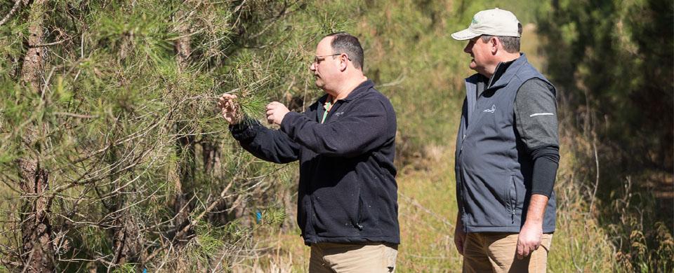 pine tree sapling advisor