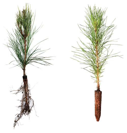 exposed pine root planting rates
