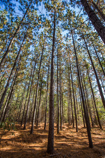 tree planting tips pine timber