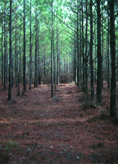 Where to plant Florida loblolly