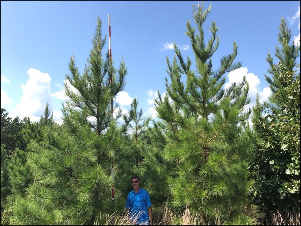 pine tree farm Texas