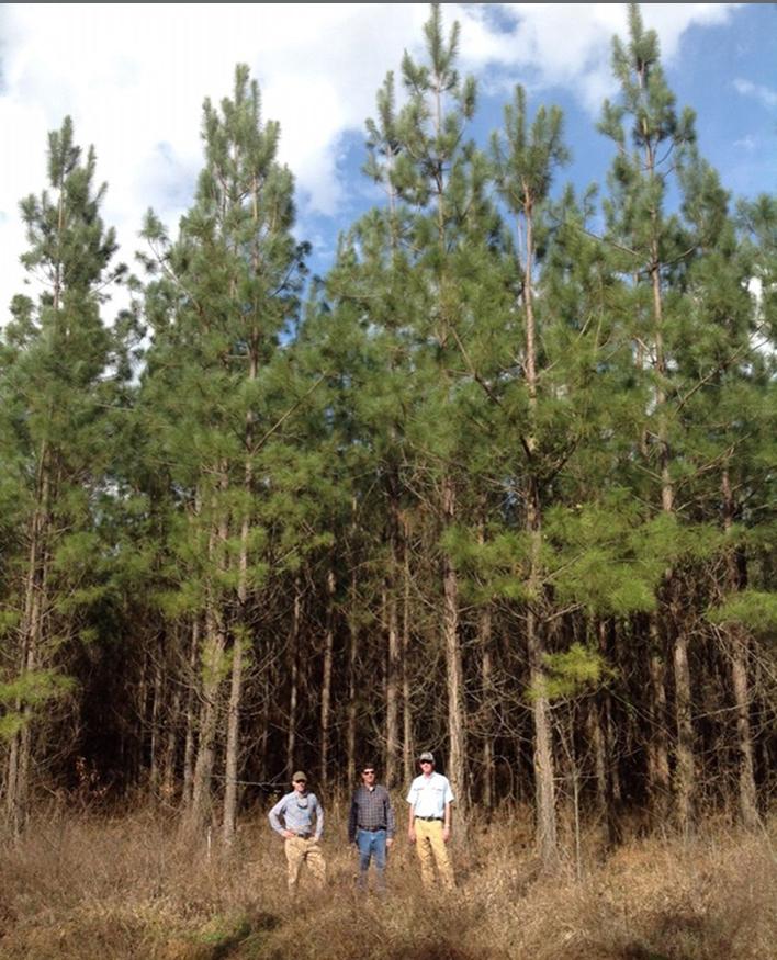 Pine forest profiteers