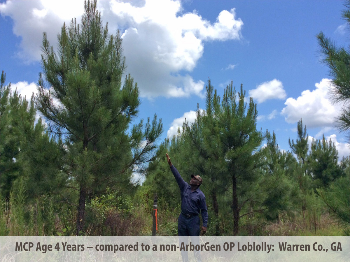 MCP® Loblolly Pine Seedlings at 4 Years in Georgia