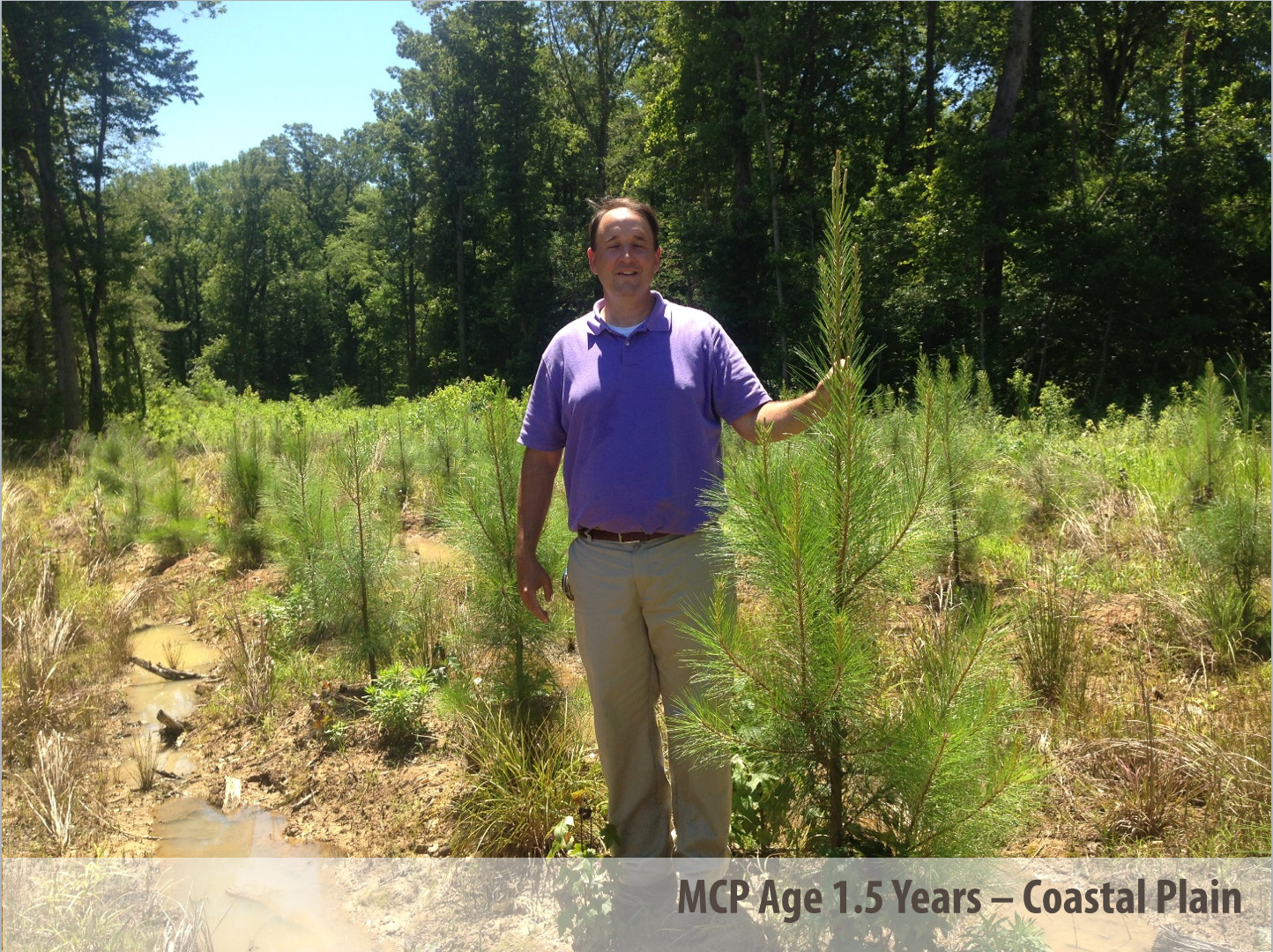 ArborGen MCP® Loblolly Pine at 1.5 Years in Coastal Plain