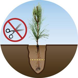 Excessive Pruning Seedling