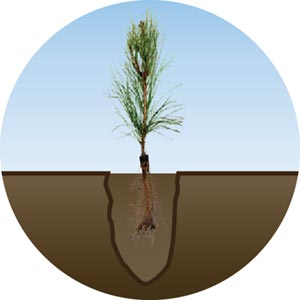 Too Shallow Seedling