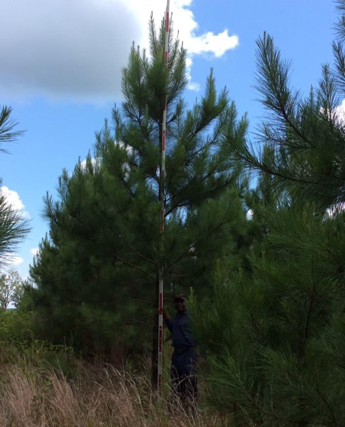 Varietal Pine Seedling - 21 Foot Tall Tree at Five Years